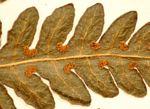 Blotiella glabra