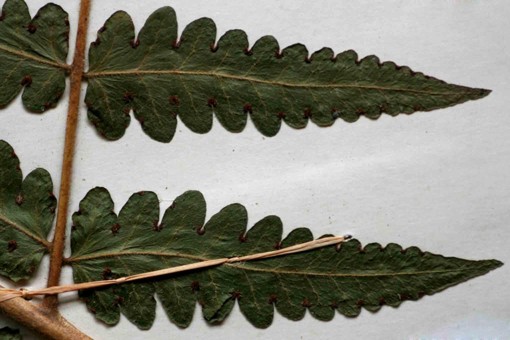 Blotiella natalensis