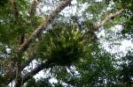 Platycerium alcicorne