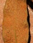 Pyrrosia rhodesiana