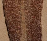 Pyrrosia schimperiana var. schimperiana