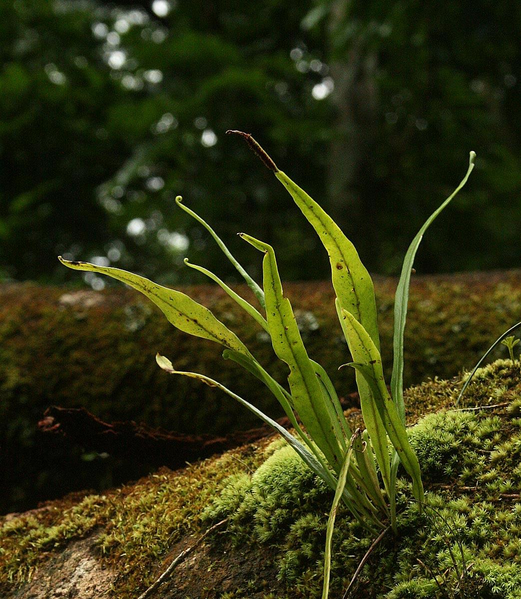 Belvisia spicata
