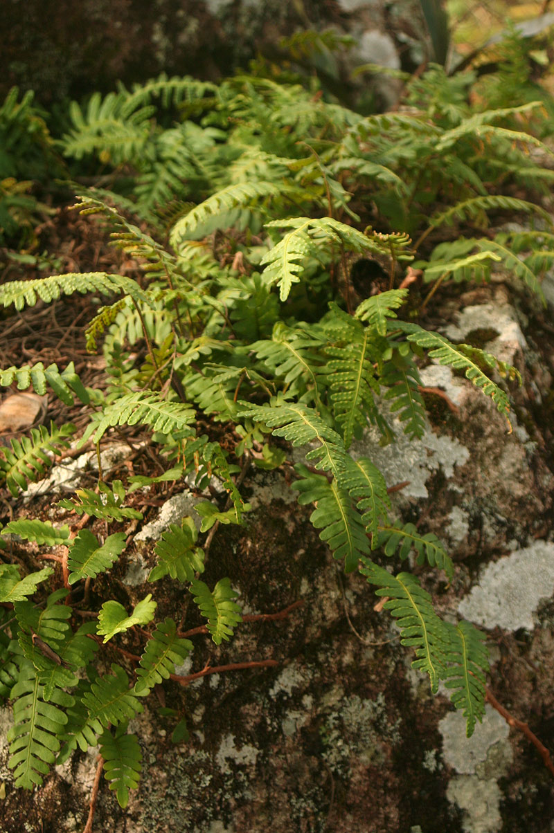 Pleopeltis polypodioides subsp.  ecklonii