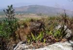 Pleopeltis macrocarpa