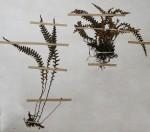 Melpomene flabelliformis
