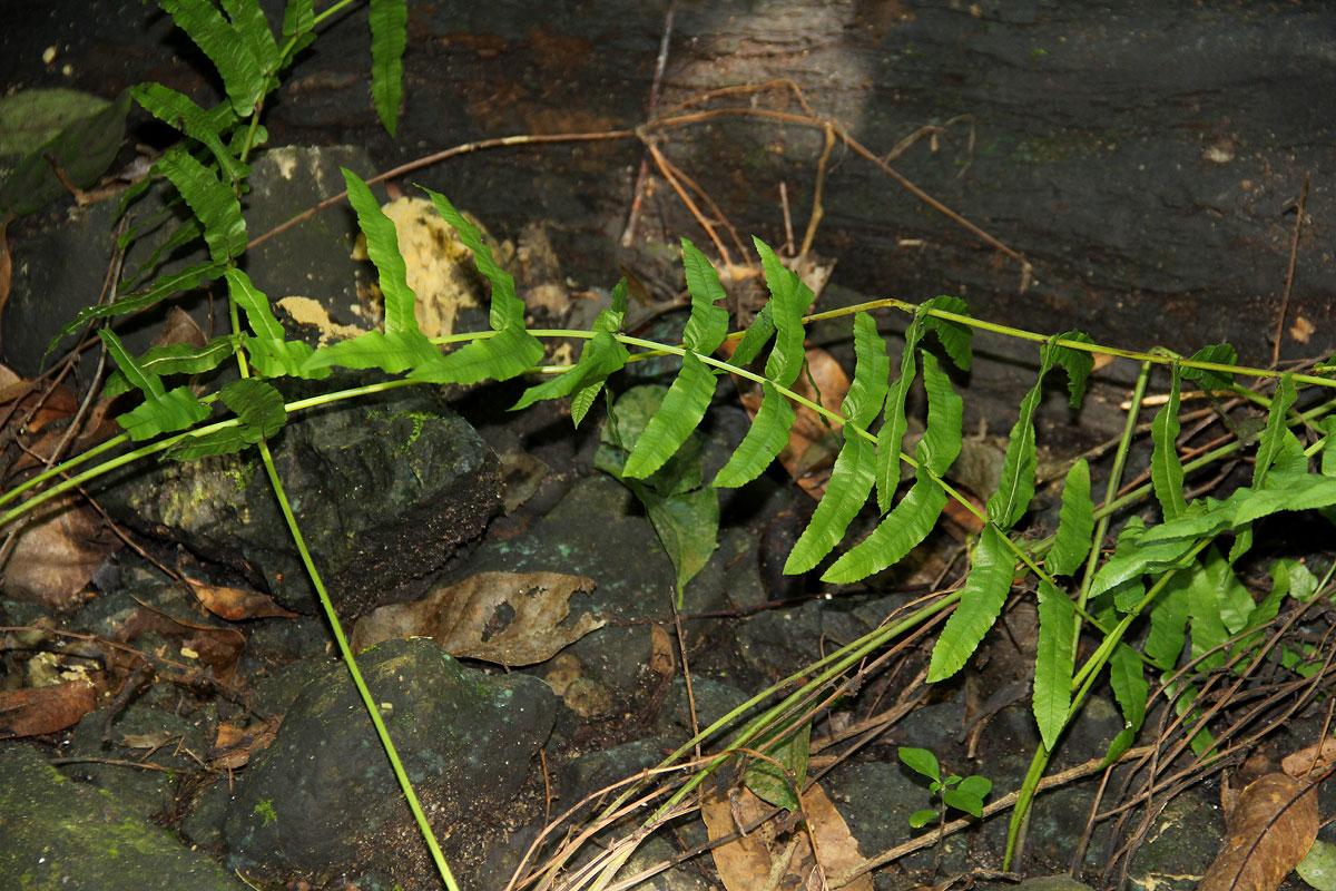Ampelopteris prolifera