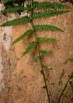 Pseudocyclosorus pulcher
