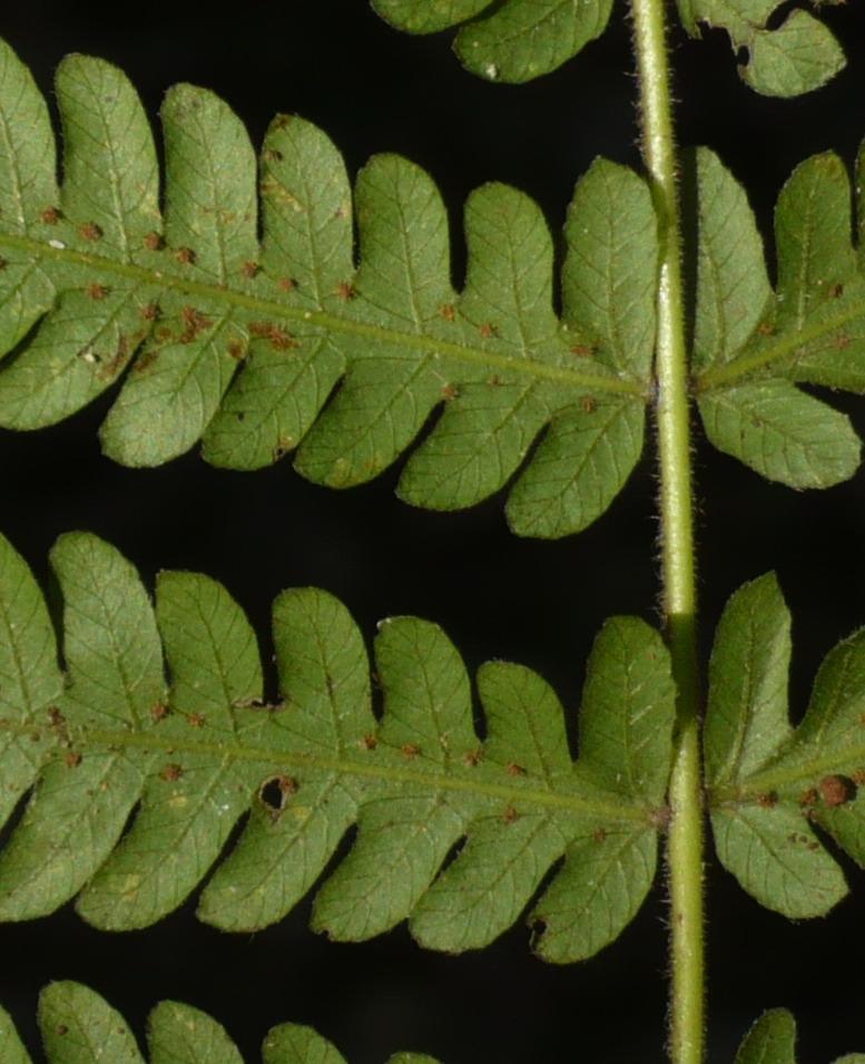 Christella hispidula