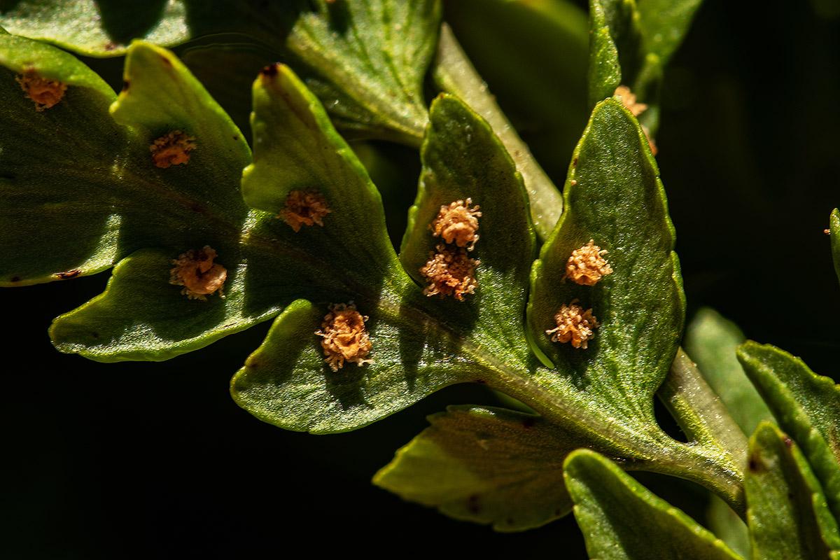 Dryopteris athamantica