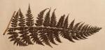 Dryopteris kilemensis