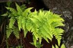 Dryopteris pentheri