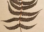 Polystichum zambesiacum