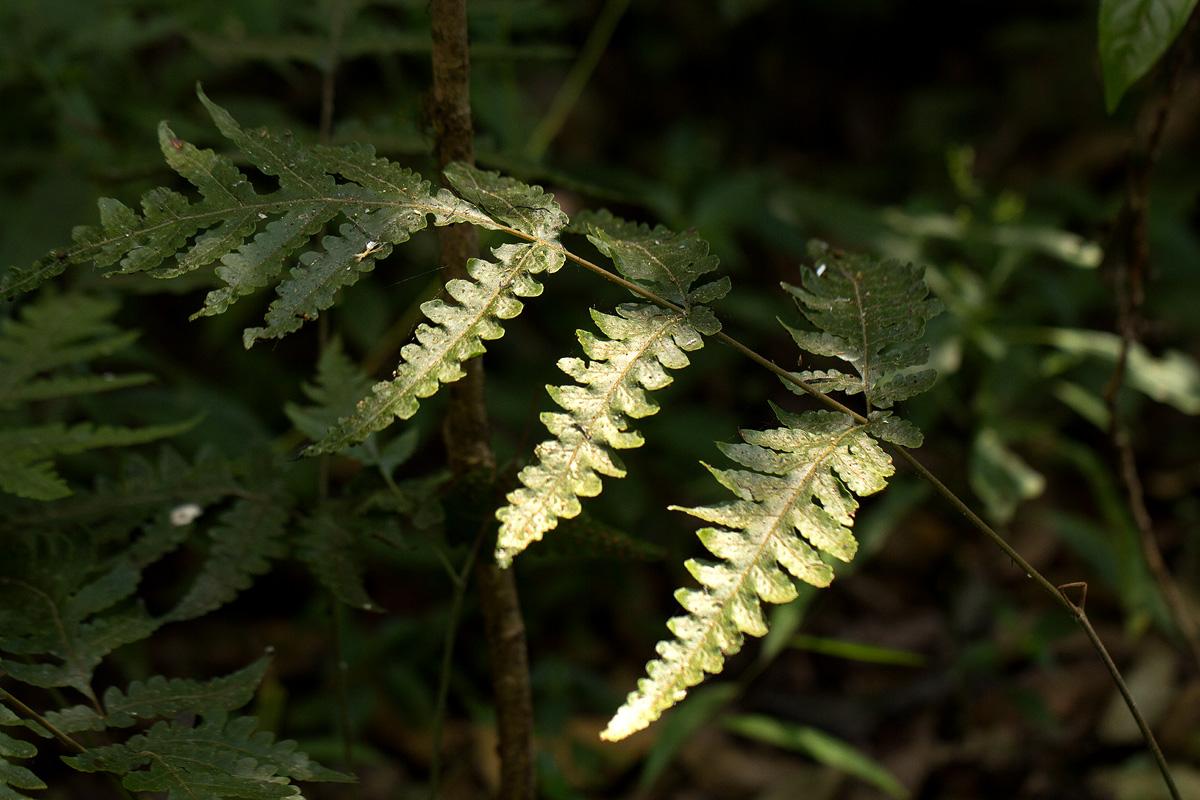 Tectaria gemmifera