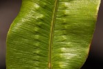 Oleandra distenta