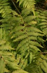 Arthropteris orientalis