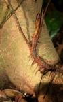 Lomariopsis warneckei