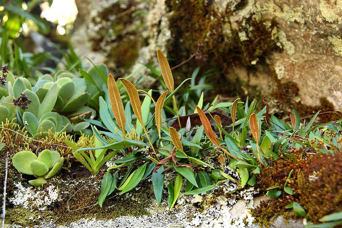 Elaphoglossum acrostichoides