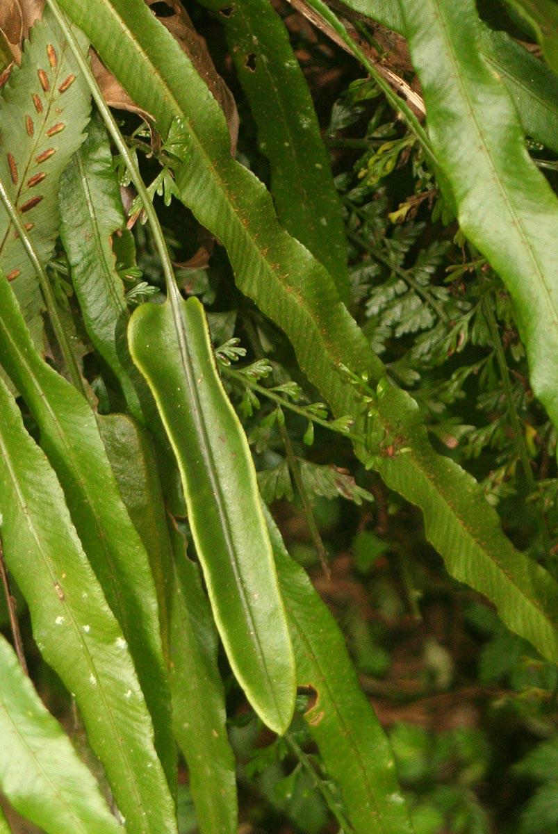 Elaphoglossum aubertii