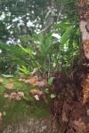 Elaphoglossum lastii