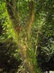Elaphoglossum lancifolium