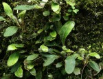 Elaphoglossum spathulatum var. spathulatum