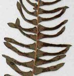 Blechnum australe subsp. australe
