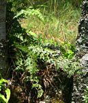 Asplenium aethiopicum