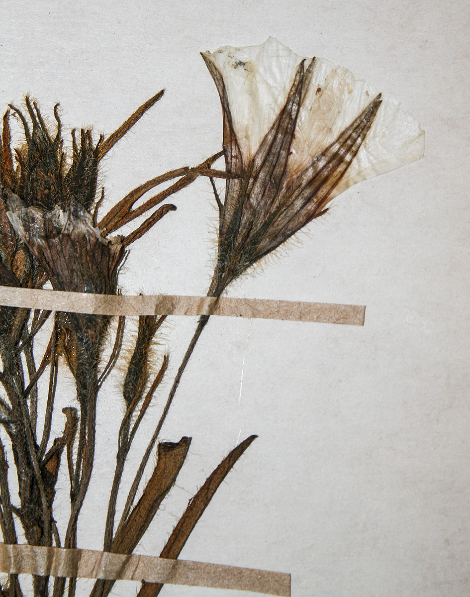 Ipomoea linosepala subsp. alpina