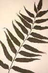 Asplenium anisophyllum