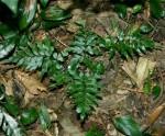 Asplenium blastophorum