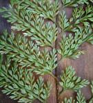 Asplenium hypomelas