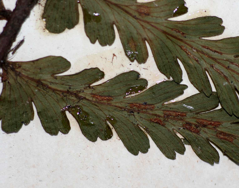 Asplenium pellucidum subsp. pseudohorridum