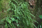 Asplenium sandersonii