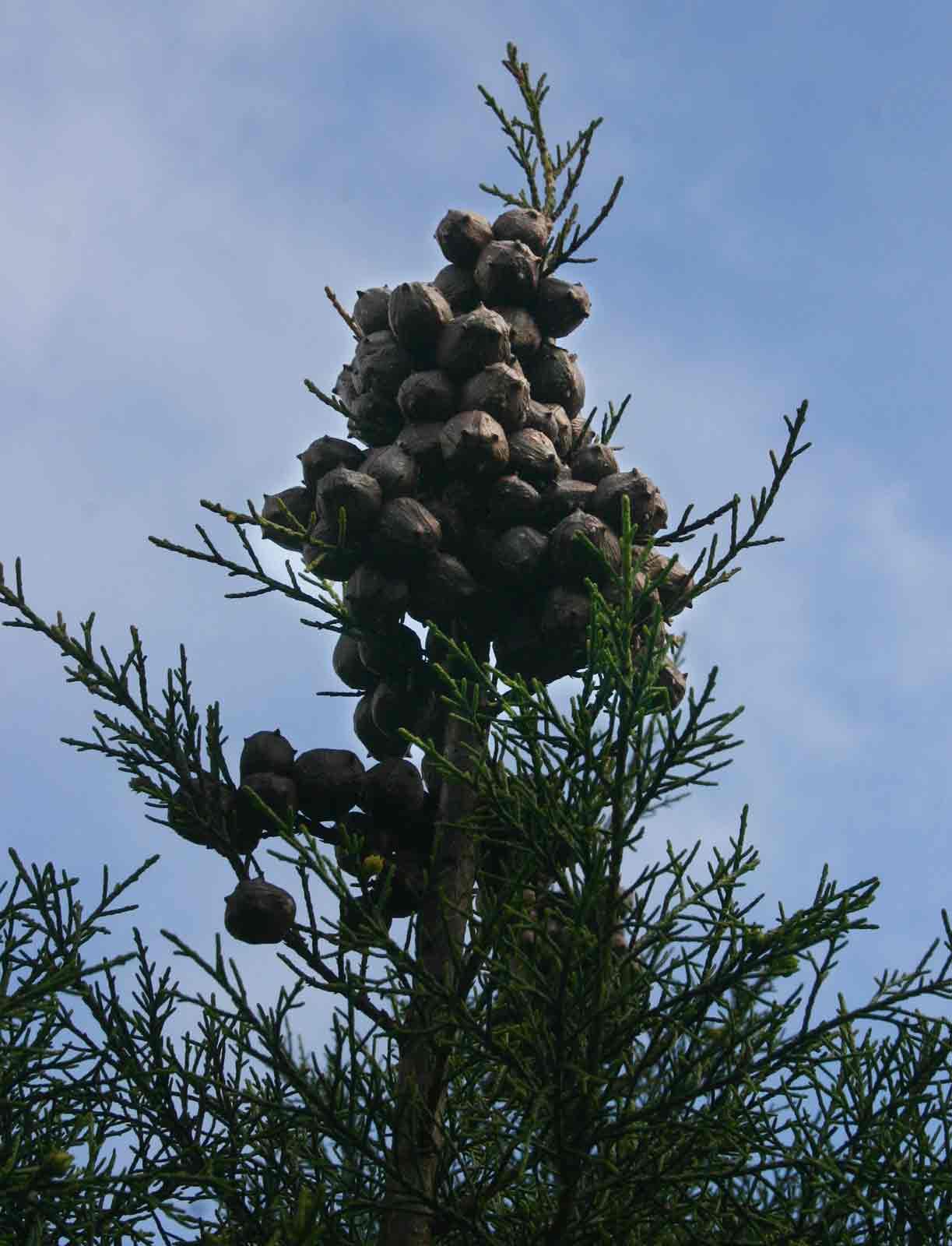 Widdringtonia nodiflora