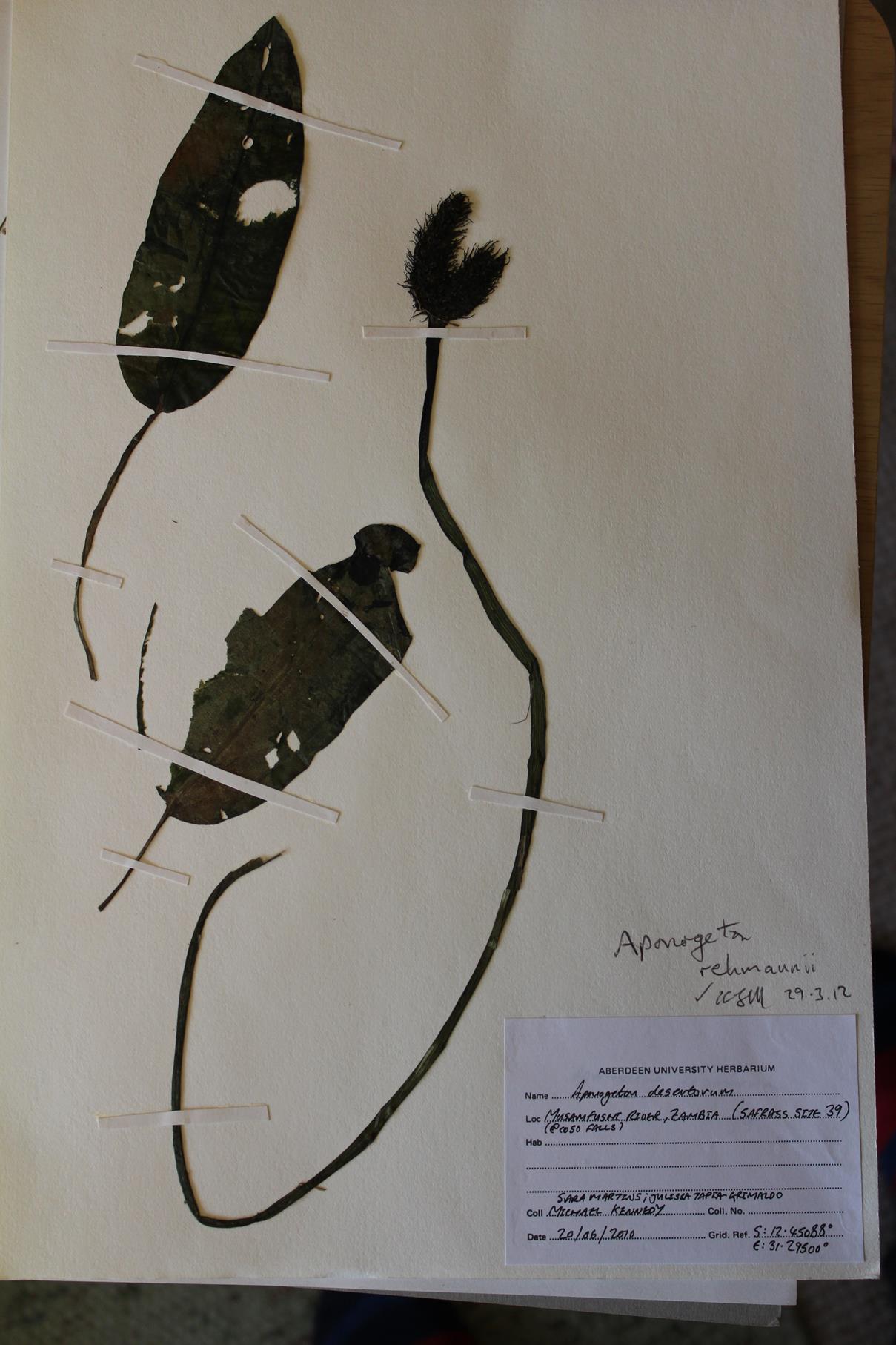 Aponogeton rehmannii