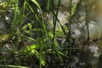 Burnatia enneandra