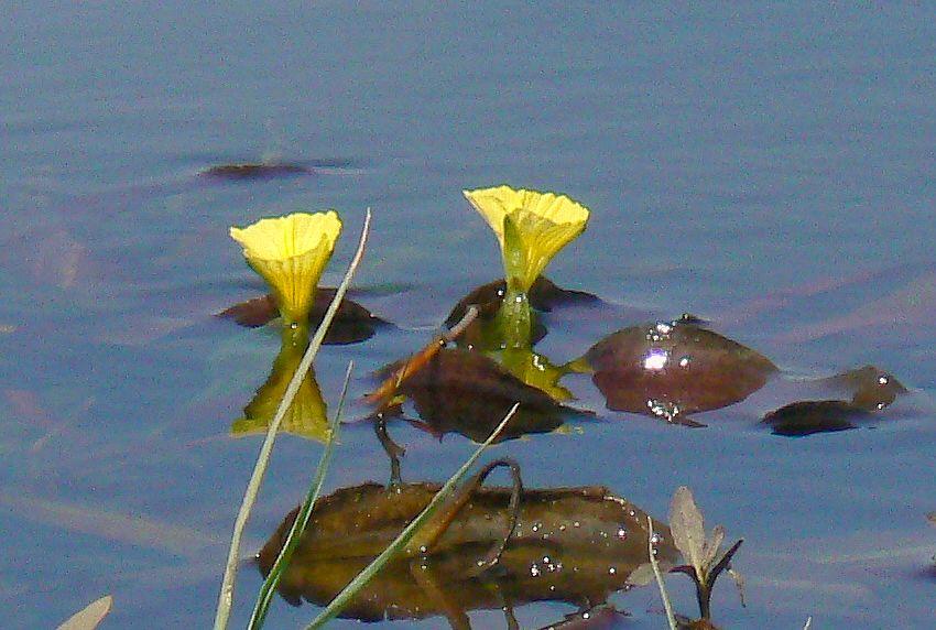 Ottelia ulvifolia