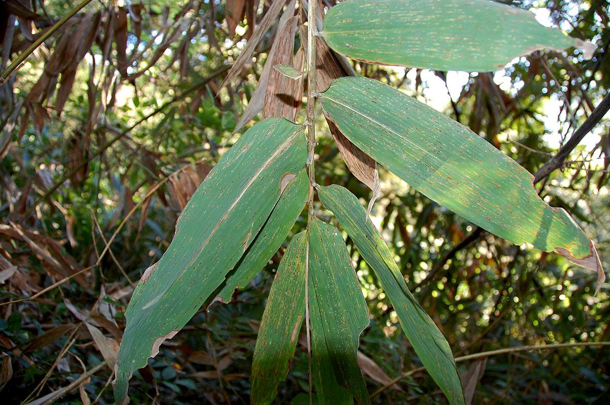 Oreobambos buchwaldii