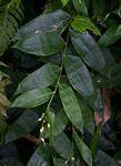 Olyra latifolia