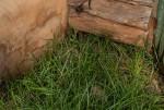 Bromus catharticus