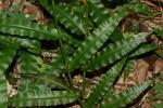 Megastachya mucronata