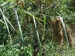Phragmites mauritianus