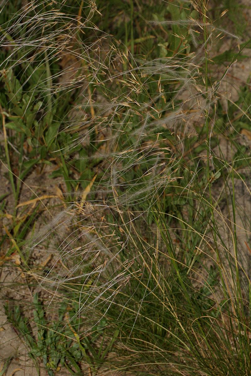 Stipagrostis hirtigluma subsp. patula