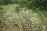 Stipagrostis uniplumis var. uniplumis