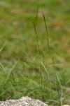 Aristida adscensionis