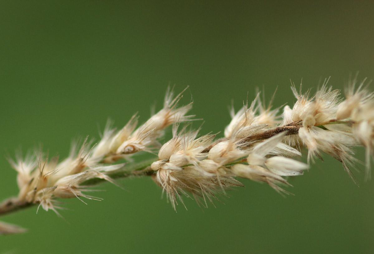 Enneapogon cenchroides