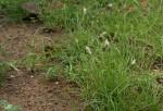 Enneapogon desvauxii