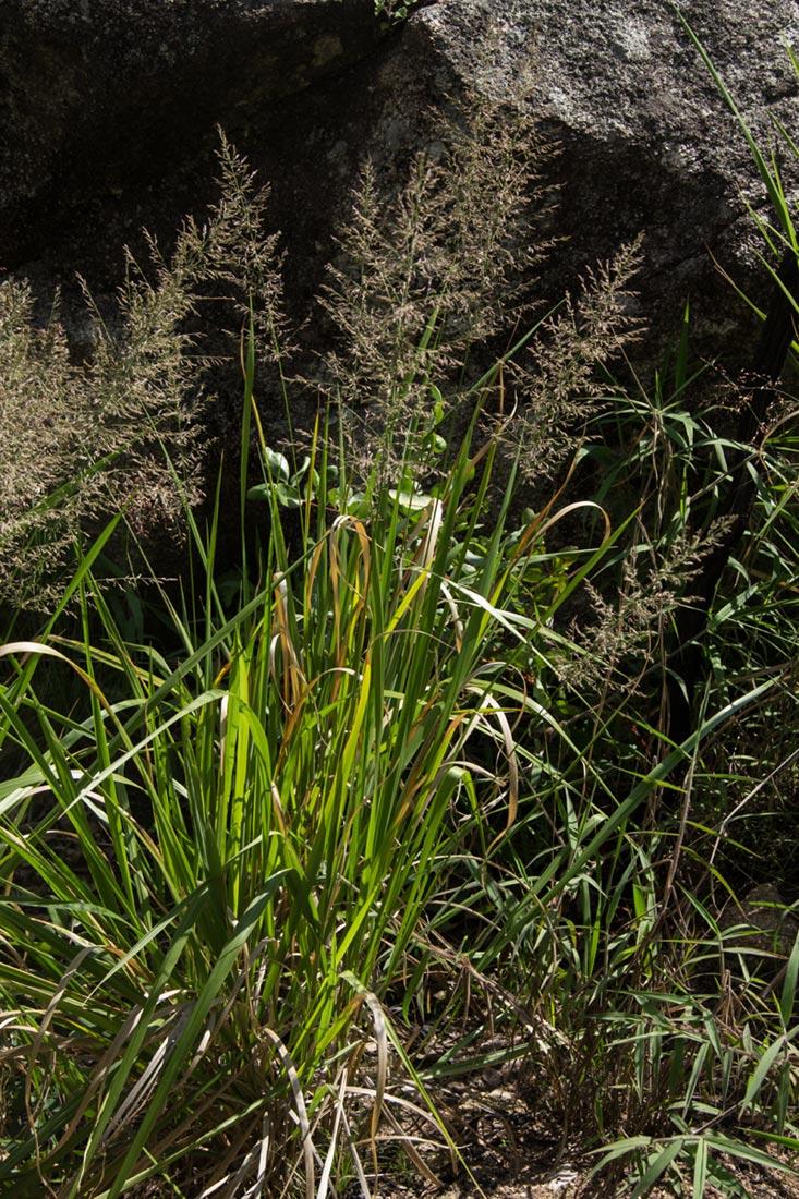 Eragrostis acraea