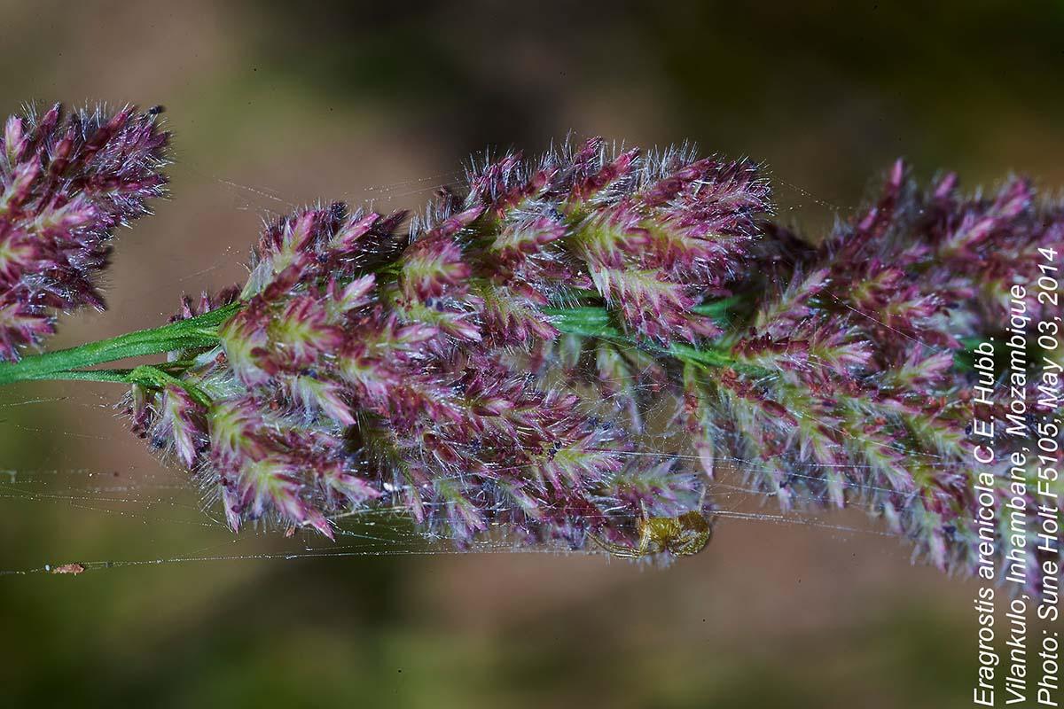Eragrostis arenicola