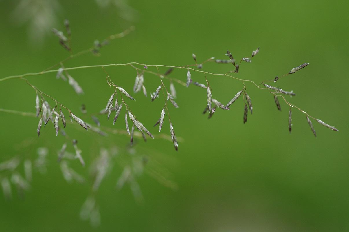 Eragrostis cylindriflora